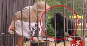 Atrapado en la jaula con un gorila