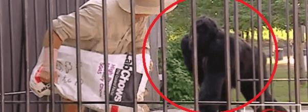 ¿Que harías si te quedas atrapado en la jaula con un gorila? ¡Mira cómo reaccionaron las víctimas de esta genial broma!